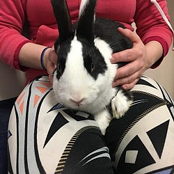 Rabbits for Adoption-Lefty