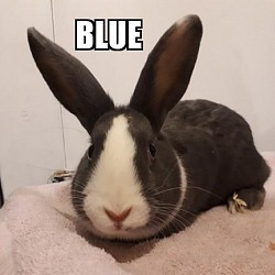 Rabbits for Adoption-Blue