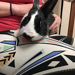 Rabbits for Adoption-Stache