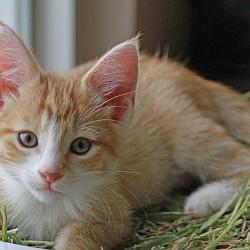 Ginger Kitten - Pluto