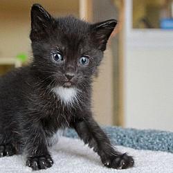 Bryn's Kitten - Duke