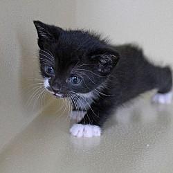 Bryn's Kitten - Liberty
