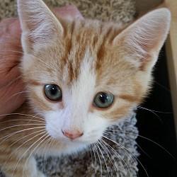 Ginger Kitten - Mickey